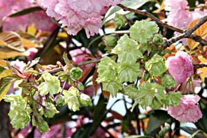 北山池公園の桜 御衣黄(ぎょいこう)の写真